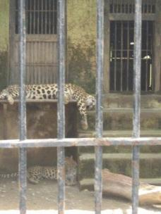 Bored leopards in Junegardh zoo