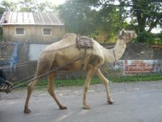 Camel carts in Junegardh